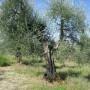 Adotta un Ulivo in Toscana